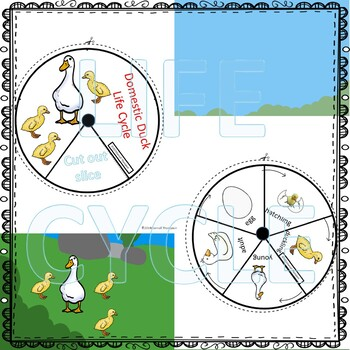 Duck (Life Cycle Spinner)