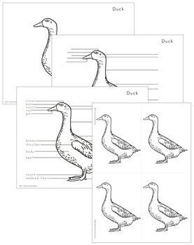 Duck Nomenclature - Elementary