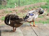 Duck Preen Together 1