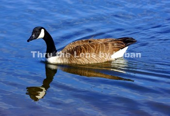 Goose and Reflection Stock Photo #136