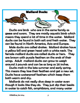 Ducks!  Informational Text with Literacy and Math Activities 40 pages