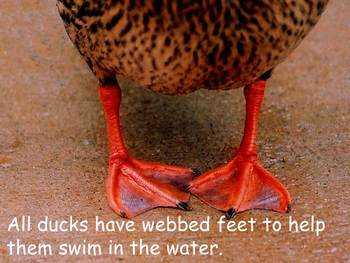 """Ducks Nonfiction PowerPoint """"Book"""" for First or Second Grade"""
