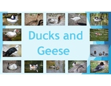 Ducks and Geese: diet, habitat, attribute, and baby inform