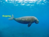 Dugong Power Point - rare ocean animal - facts pictures - 9 slides