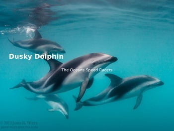 Dusky Dolphin Power Point - Information Pictures Facts