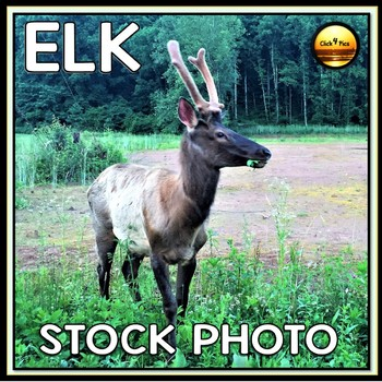 ELK Wild Life Stock Photo for Commercial Use