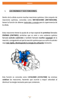 ENZYMES STUDY GUIDE IN SPANISH