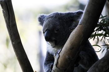 ESL Animals of Australia quiz (chinese students)