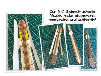Earthworm Dissection - 3-D Paper Model