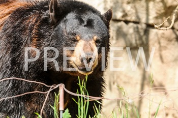 Stock Photo: Zoo Black Bear -Personal & Commercial Use