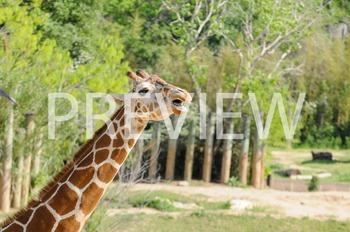 Stock Photo: Zoo/Safari Giraffe -Personal & Commercial Use