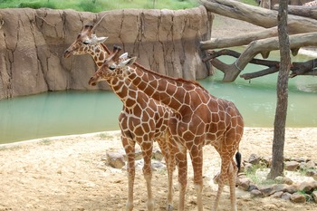 Stock Photo: Zoo/Safari Giraffes -Personal & Commercial Use