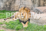 Stock Photo: Lion -Personal & Commercial Use