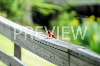 Stock Photo: Cardinal (Red Bird)-Personal & Commercial