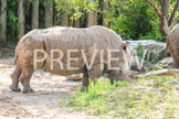 Stock Photo: Rhino-Personal & Commercial Use