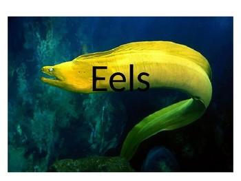 Eel Powerpoint