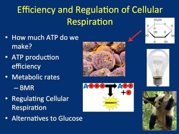 Efficiency and Regulation of Cellular Respiration - Biology PowerPoint Lesson