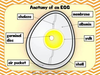 Egg Dissection (primary)