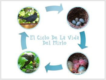 El Ciclo De La Vida De Un Pajaro / Bird Life Cycle In Spanish