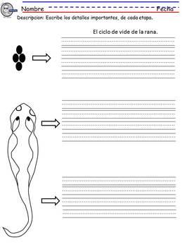 El ciclo de la rana,centro o actividad, por etapas.