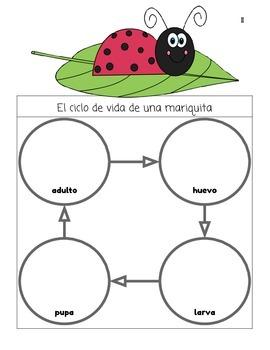 El ciclo de videa de una mariquita - The Life Cycle of a Ladybug