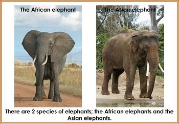 Elephant Posters/Flash Cards
