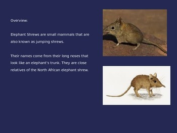 Elephant Shrew - Power Point - Facts Information Pictures