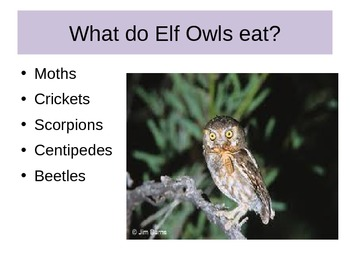 Elf Owl PowerPoint
