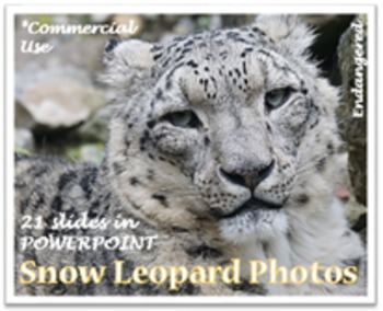 Endangered Snow Leopard Photos for Teachers & Commercial Use/ON SALE