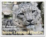 Endangered Snow Leopard Photos for Teachers & Commercial U