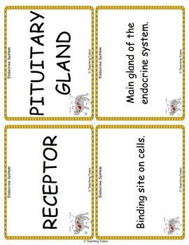 The Endocrine System Vocabulary Cards