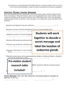 Endocrine System Exploration Stations