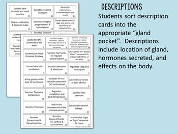 Endocrine System- Glands and Hormones Card Sort