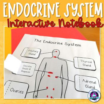 Endocrine System INB