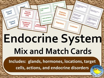 Endocrine system activity teaching resources teachers pay teachers endocrine system mix and match cards endocrine system mix and match cards ccuart Gallery