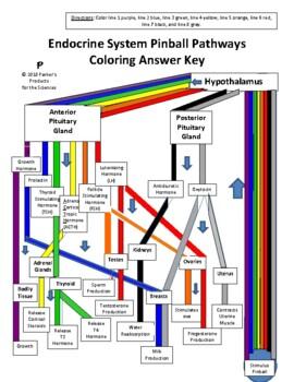 Endocrine System Pinball Pathway Coloring Worksheet