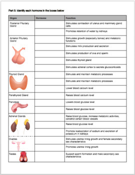 Endocrine System Review Worksheet
