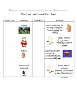 Endocrine System Root Word Parts