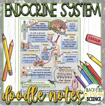 Endocrine System Squiggle Sheets & Understanding Checkpoint