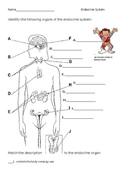 endocrine system worksheet by the lab assistants tpt. Black Bedroom Furniture Sets. Home Design Ideas