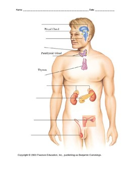 Endocrine System and Adrenaline Response Lab