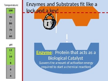 Enzyme Notes