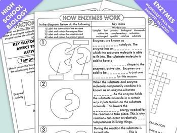high school biology enzyme worksheet pack - Enzyme Worksheet