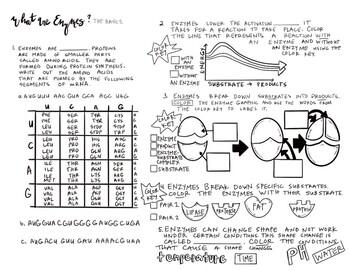 enzyme worksheet - Enzyme Worksheet