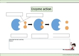 Enzyme worksheet