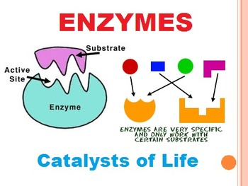 Enzymes: Catalysts of Life Power Point