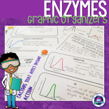 Enzymes Graphic Organizers