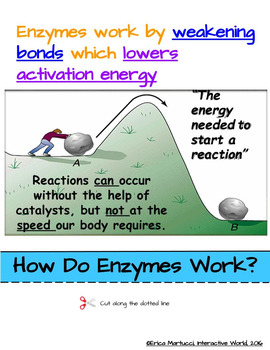Enzymes Interactive Flip Book and Quiz