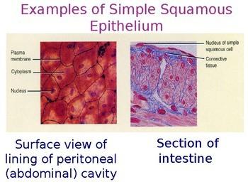 The Skin - Epithelial Tissue (Editable)