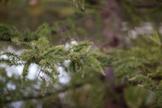 Stock Photo: Evergreen Branch